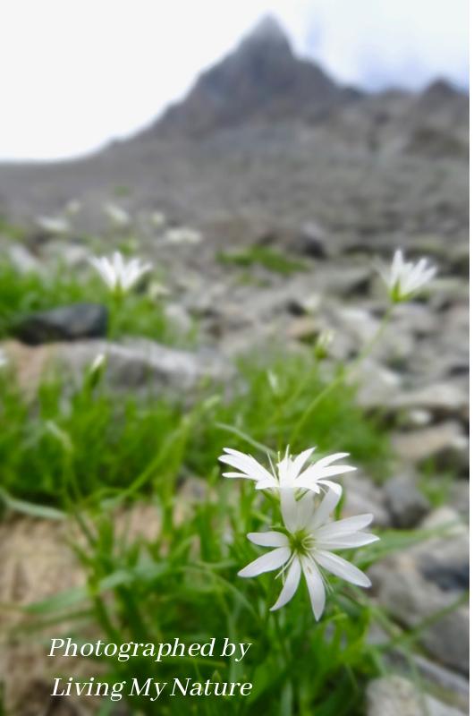 Alpine flower and Mt.Yari