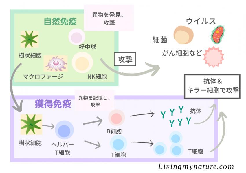 自然免疫と獲得免疫の図